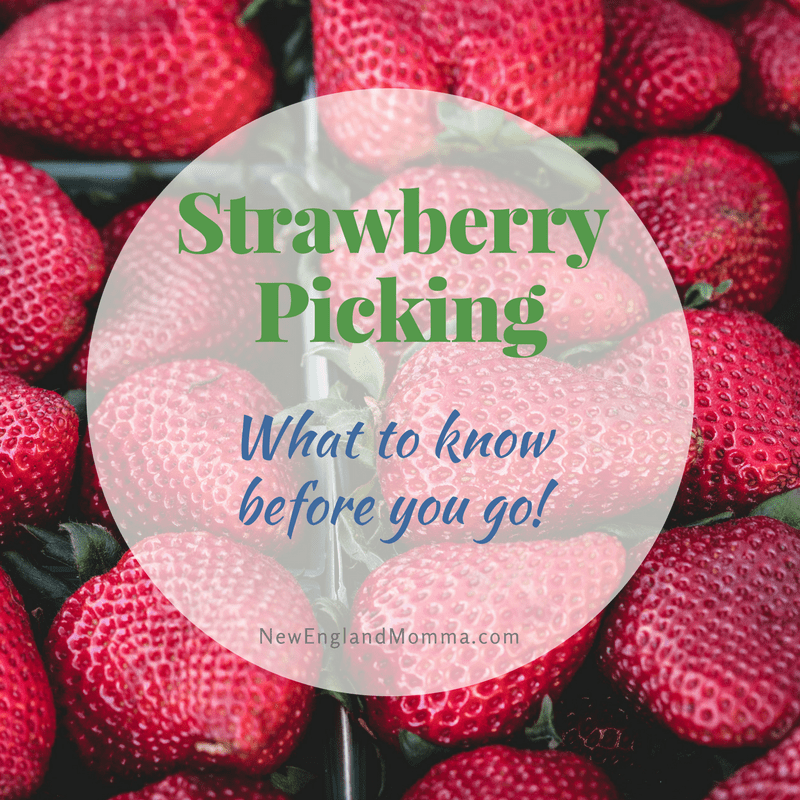 June in New England means it is time to pick fresh strawberries from the vine! Check out these strawberry picking tips before you go!