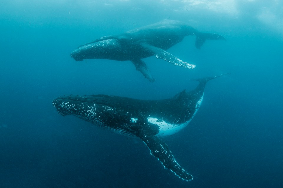 13 November 2015: The whaling industry killed nearly 150 000 southern right whales from 1770 to 1935. But numbers are up since the introduction of whaling bans, from around 7 500 two decades ago to about 15 000 today. (Photograph by Steve Benjamin)