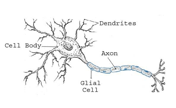Neuron Diagram Printable Blank Prokaryotic Cell Diagram