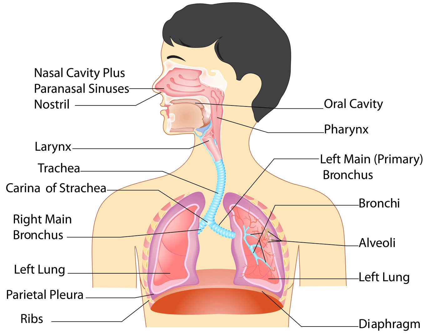 Respiratory System Organs And Their Functions