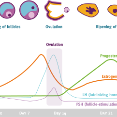 Menstrual Cycle Diagram With Ovulation 50cc Pit Bike Wiring Hormones And Their Effects In Different