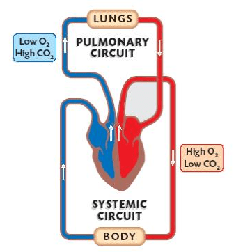Double Circulatory System Explained (with Video) | New ...