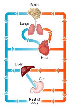 Circulatory System Diagram | New Health Advisor