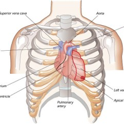 Where Are Your Appendix Located Diagram Gas Furnace Wiring Diagrams Which Side Of Chest Is The Heart On? | New Health Advisor
