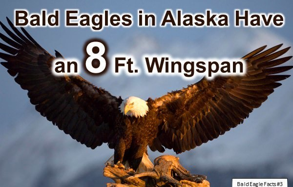 bald eagle facts