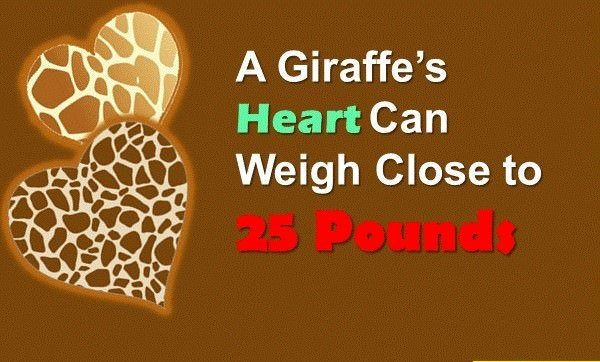 giraffe facts