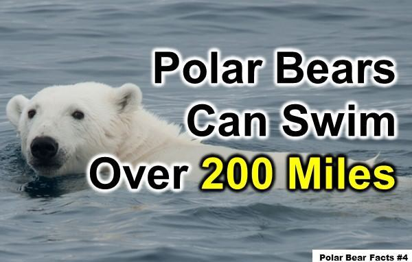 Fun Polar Bear Facts For Kids: 10 Interesting Facts about Polar Bears