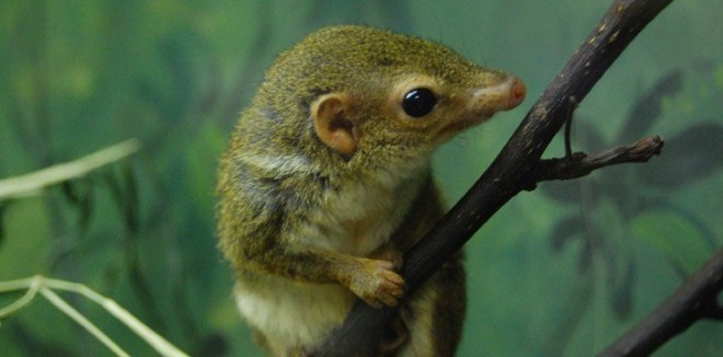 Pen-Tailed Tree Shrews
