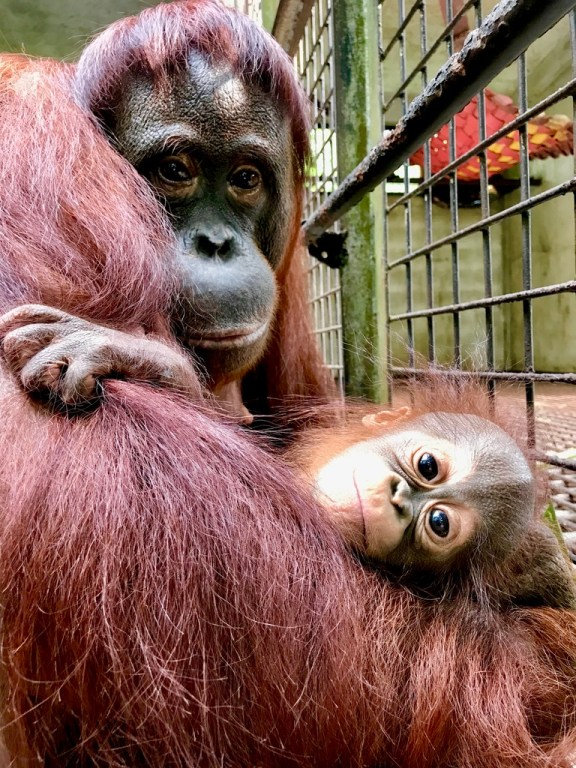 Orang Utan rescued from a rubbish tip, and baby. Courtesy of Willie Smits.