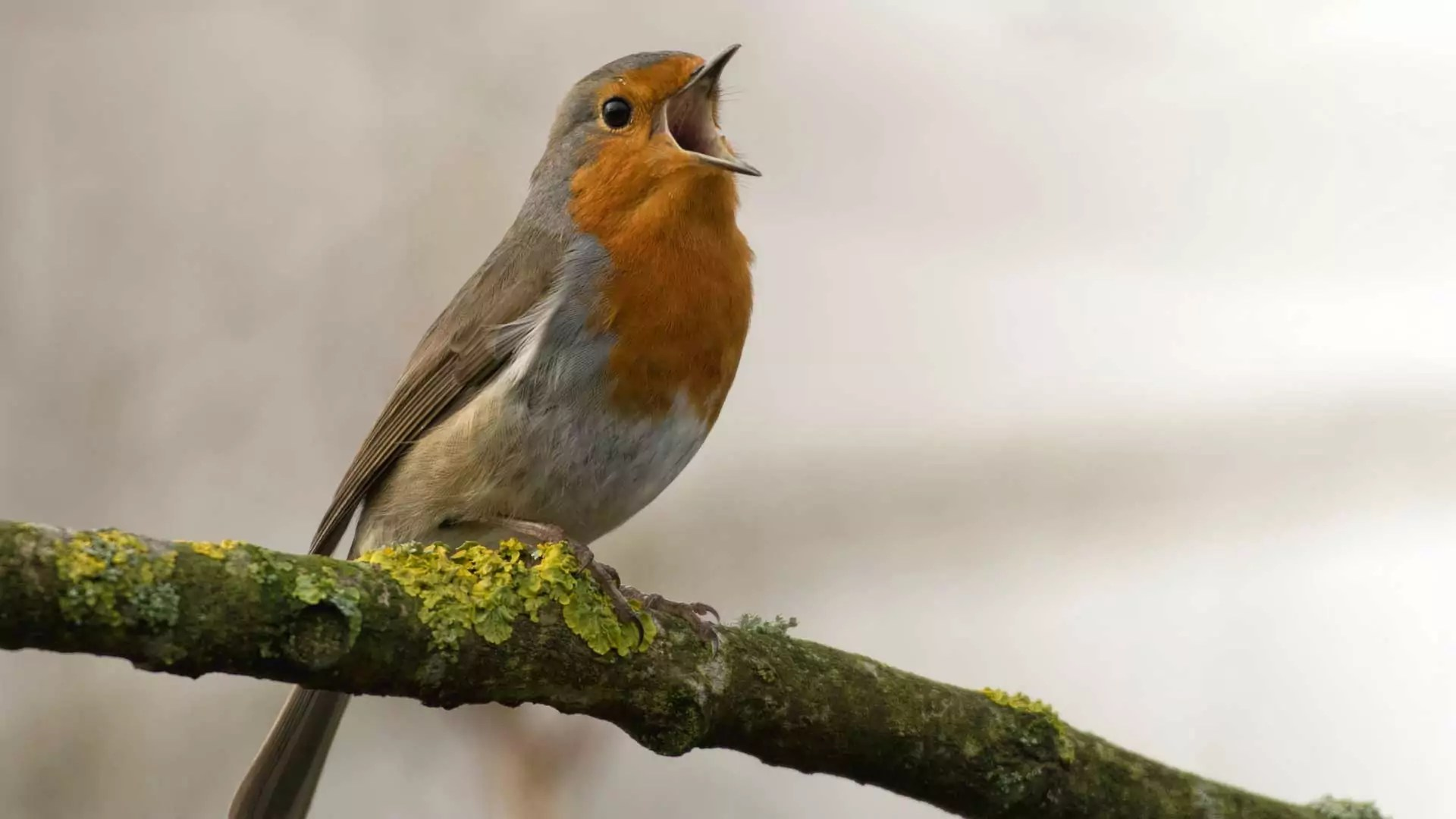A small orange robin chirps on the branch of a tree.