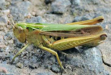 Locust Attack Scare In Odisha, OUAT Issues Advisory To Farmers