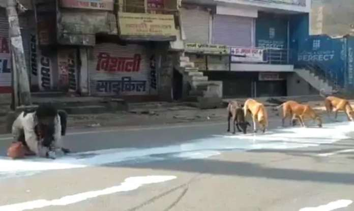 Dogs Share the milk Spilt on the Road in Agra, India