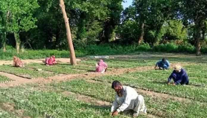 Green Stimulus package by prime minister Imran Khan an innovative to plant 10 billion trees