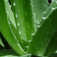 Organic Aloe Vera Concentrate Holy Grail of Internal Health
