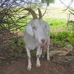 goatsmall.jpg