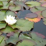 waterlilies1.jpg