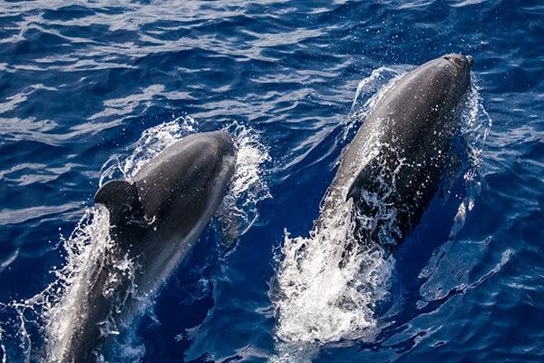grand-dauphin