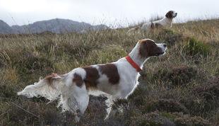 Jagdhunde  Englische Vorstehhunde  NEWSAT