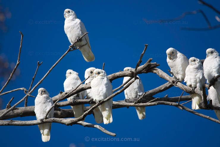 Group of Little Corella's lined up on a dead tree. Excitations Mildura beginners photography course.