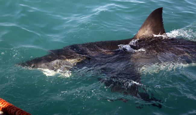 12-foot great white shark lingering off Myrtle Beach coast