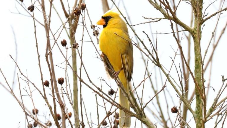 yellow-cardinal_706355