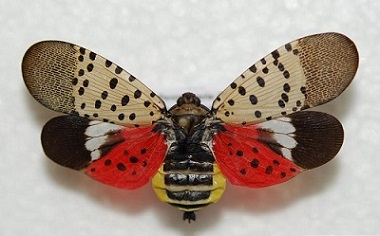Lanternfly_1536743434048.jpg