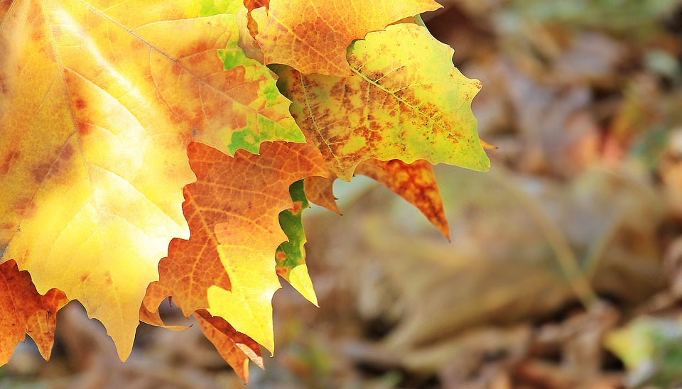 Fall Leaves_466005