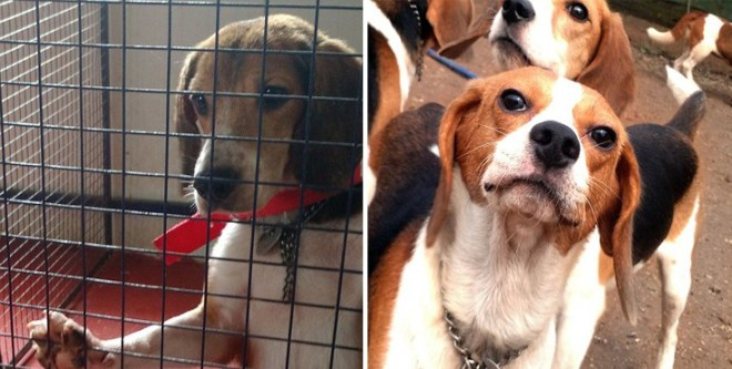 Σκύλοι πειραματόζωα Beagle