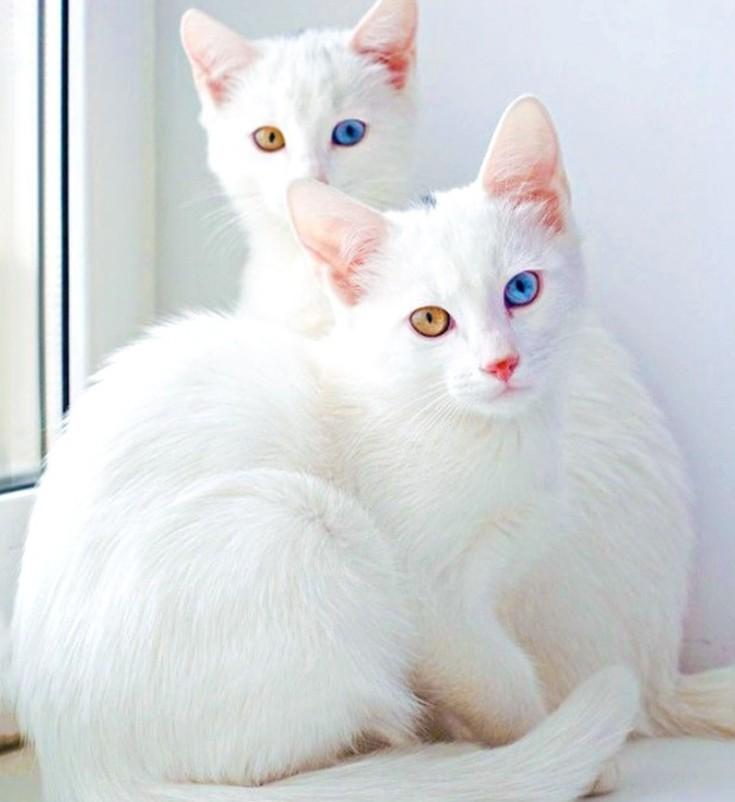 Γάτα Λευκό Κόσμημα
