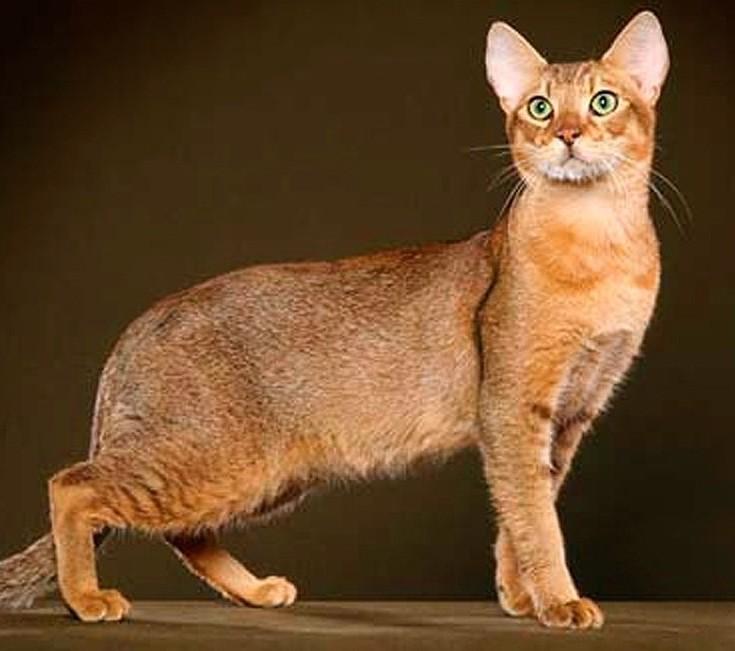 Γάτα Τσόσι