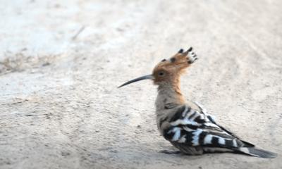 Hudhud Bird