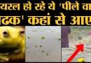 Madhya Pradesh, Maharashtra में मिल रहे ये पीले Bullfrog क्यों इतनी चर्चा में हैं