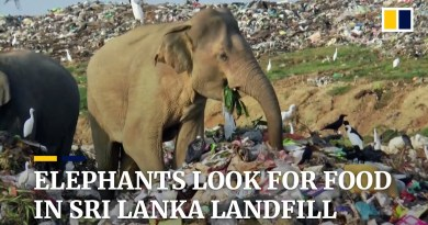 Sri Lanka digs trenches to keep hungry elephants away from landfill