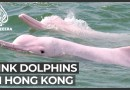 Rare pink dolphins return to Hong Kong amid lockdown