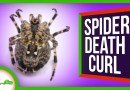 Why Spiders Curl Up When They Die