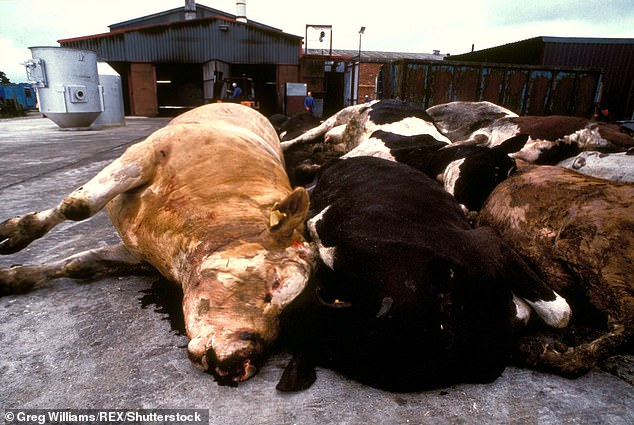 Mad cow disease infected tens of thousands of cows in the 1990s and led to many being culled  (Pictured: a photo from 1996 of cows who were slaughtered because of mad cow disease)