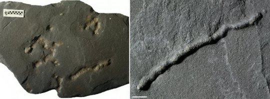 "***EMBARGOED UNTIL 20.00 GMT, MON FEB 11TH (15.00 ET)*** Previously, the oldest traces of this kind found dated to approximately 600 million years ago: the Ediacaran period, also characterized by a peak in dioxygen and a proliferation in biodiversity. Scale bar: 1 cm.See National News story NNmovement.Evidence of the first signs of movement on Earth - probably made by a ""slug-like"" creature around 2.1 BILLION years ago - have been discovered in Africa.The previous oldest remnants were dated to 570 million years ago, but the new evidence was uncovered in a fossil deposit in Gabon, where the oldest multi-cellular organisms have already been found. An international team, coordinated by Professor Abderrazak El Albani, of the University of Poitiers in France, made the discovery in the black shales of the Paleoproterozoic Francevillian Group Fossil Formation in Gabon.Located in the Franceville Basin, the deposit previously discovered by Prof El Albani's team allowed scientists to re-date the appearance of multi-cellular life on Earth to 2.1 billion years - around 1.5 billion years earlier than previously thought."