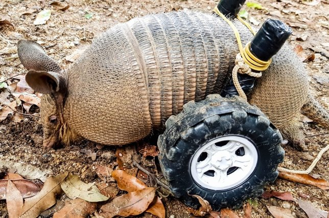This paraplegic armadillo was given a makeshift wheelchair to survive