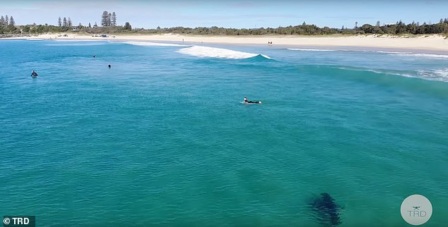 The video, which was captured by a hovering drone, sees the large shark ominously swimming around surfers at the popular Tuncurry Beach in Forster, NSW, on June 9