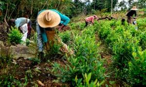 Venezuelan migrants working as 'Raspachines' (coca leaf collectors), work at a coca plantation in the Catatumbo region on 9 February 2019.