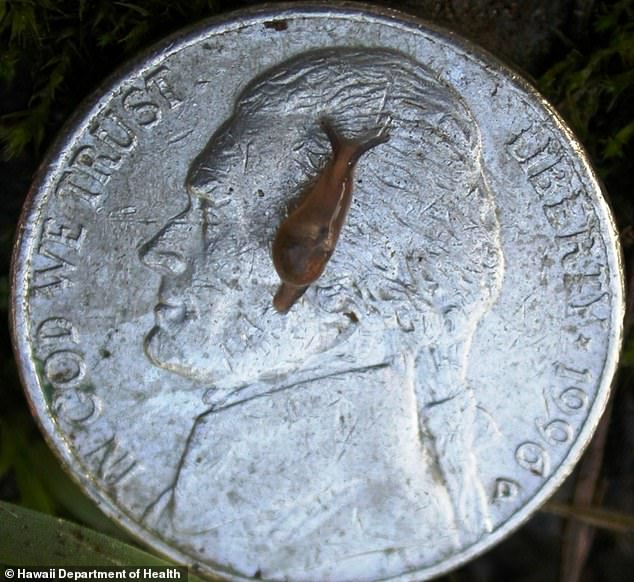 Between 2007 and 2017, 82 cases of the rare rat lungworm disease have been reported in Hawaii. Pictured: A 'semi-slug' believed to be behind the number of cases in Hawaii
