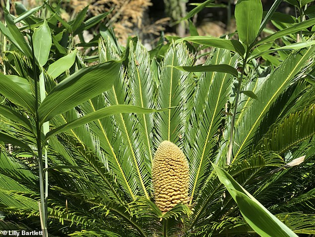Cycas revoluta are little known but it is believed they are pollinated by beetles but the location of the male and female plants means they will need to be hand pollinated