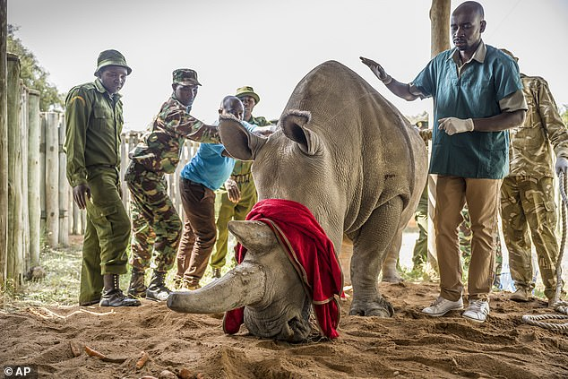 Neither Najin or Fatu, pictured after receivingmedication in her enclosure at Ol Pejeta on Wednesday, can carry their own calves