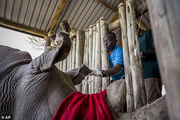 Kenya Wildlife Service vet Dr Dominic Mijele, left, and Ol Pejeta's vet Dr. Stephen Ngulu, right, disconnect an intravenous line from Najin this week