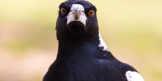 A man died in New South Wales, Australia, on Sunday after trying to avoid a swooping magpie on a park bike path, witnesses told police.