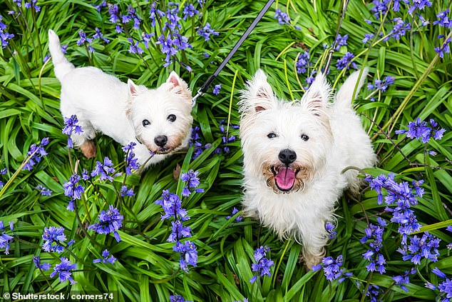 Now, less than one in 200 (0.43 per cent) of dogs born in the UK are Westies and the average age of the pet is a rather long-in-the-tooth 7.8 years, indicating an ageing population (stock photo)