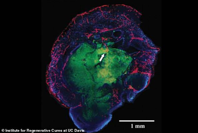 An ethical line may have been crossed by neuroscientists who have created mini-brains from human tissue, pictured, that can feel and may even suffer, experts have warned