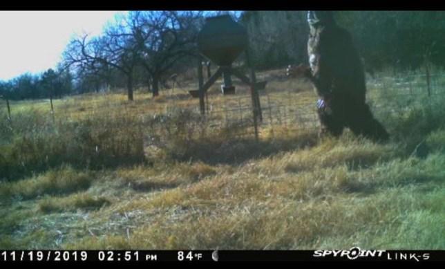 Here's 'Bigfoot' taking a stroll in Oklahoma (Jordy Mercer/Twitter)