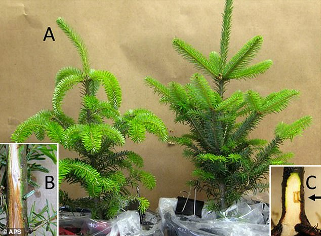 Scientists have found that Fraser firs are highly susceptible to devastating root rot diseases that are killing the trees within just three years of being planted. Testing has confirmed that the mold is a new species of Phytophthora, or water mold, which could threaten the tree for future holiday seasons.Pictured on the left is an infected tree, while the right is a healthy one