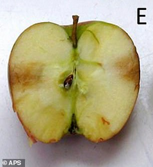 This is a method that dates back to 1931, demonstrating that old methods in plant pathology are still valid and useful